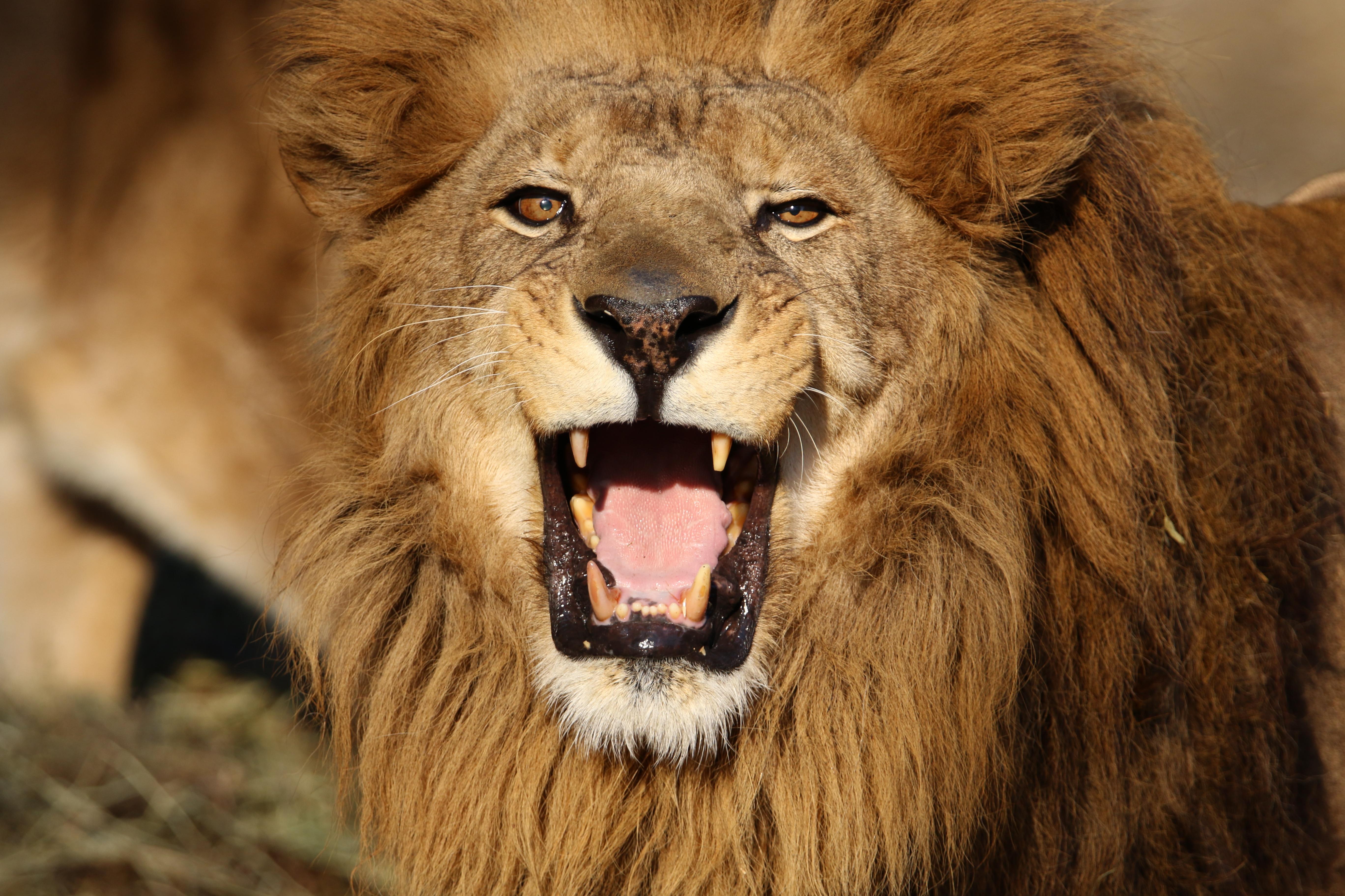 百獣の王ライオン
